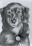 Italian Dog, graphite drawing by Lauryn Medeiros