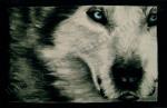 Wolf with Blue Eyes, chalk pastel by Lauryn Medeiros