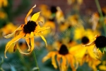 peeking sunflower, digital, photography by Lauryn Medeiros